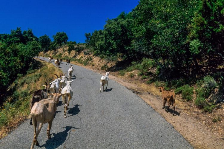 Corsican Fauna