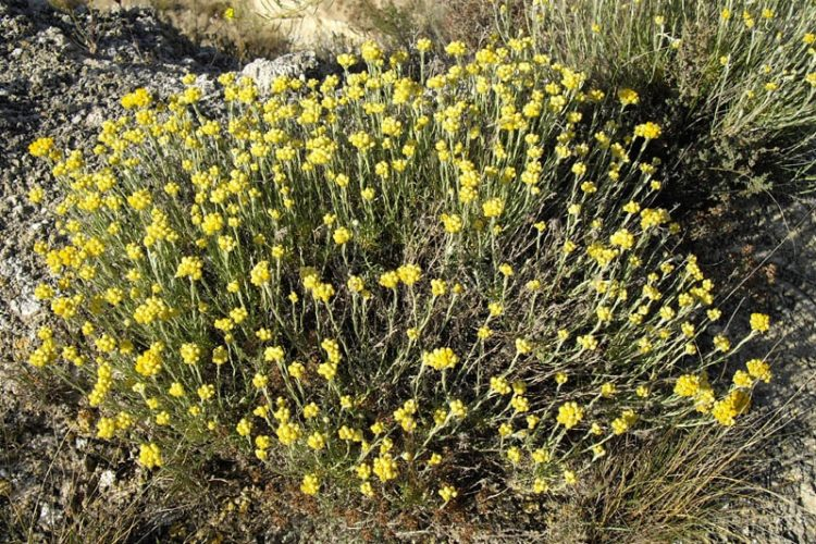 Imortelle-maquis-plante-Corsica