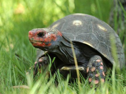 Chelonoidis- carbonaria-tortue-acupulata-Ajaccio-Corse-Bonifacio.jpg
